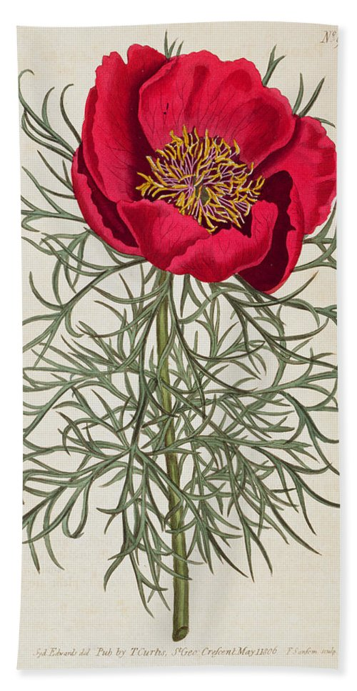 Peony: Paeonia Tennifolia Bath Sheet featuring the painting Peony by William Curtis