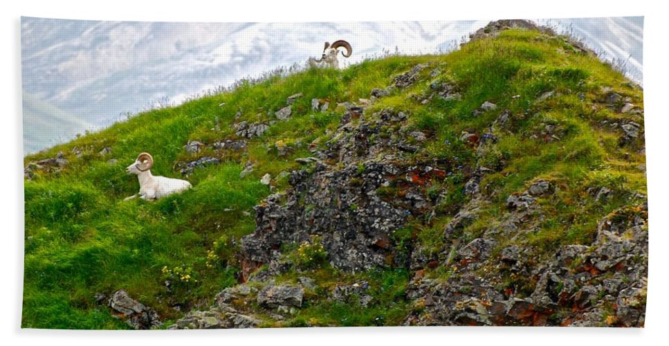 Dall Sheep Bath Sheet featuring the photograph Perched by Eric Tressler
