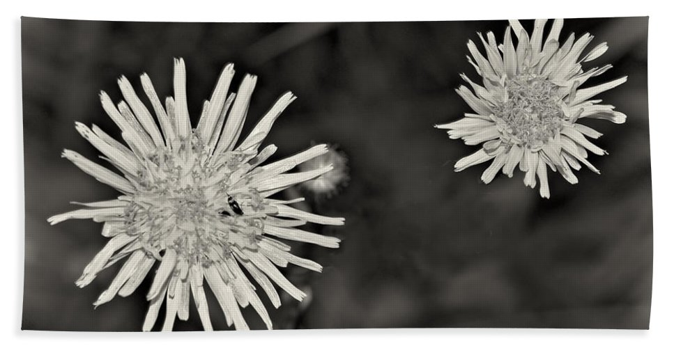 Lowers Bath Sheet featuring the photograph Perennial Sow-thistle Monochrome by Steve Harrington