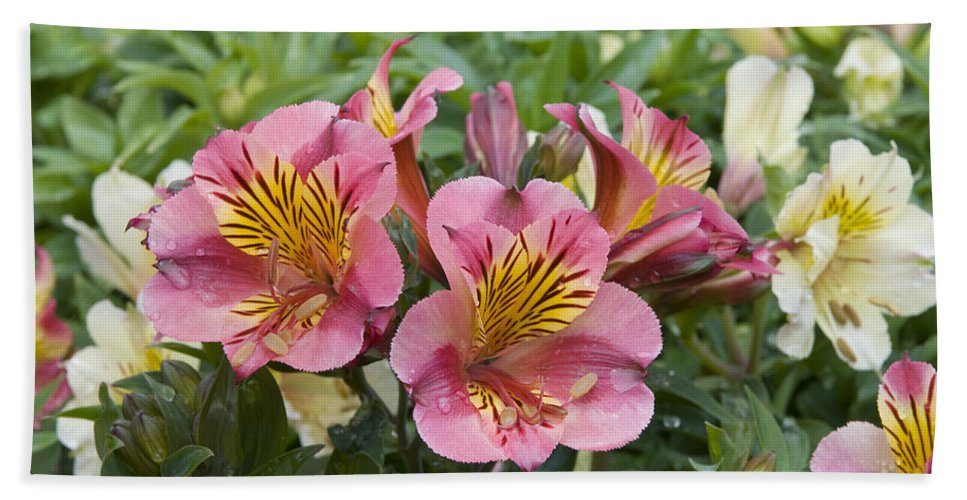Vp Hand Towel featuring the photograph Peruvian Lily Alstroemeria Sp Princess by VisionsPictures