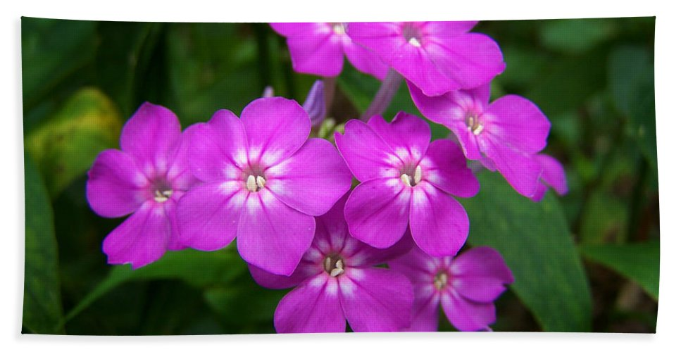 Purple Hand Towel featuring the photograph Phlox In Bloom by Bill Pevlor