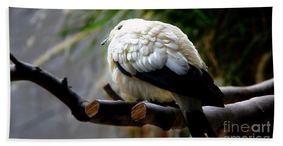 Pigeon Bath Sheet featuring the photograph Pied Imperial Pigeon by Davandra Cribbie