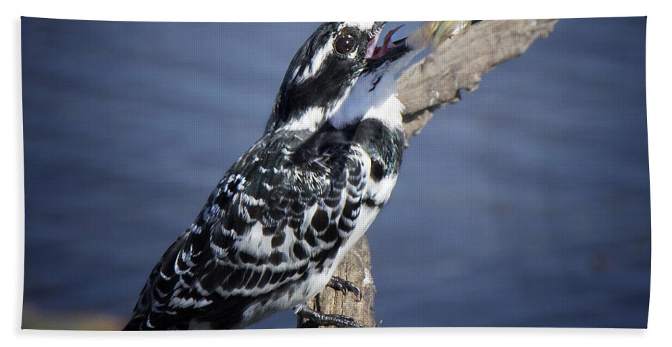 Pied Kingfisher Bath Sheet featuring the photograph Pied Kingfisher Eating by Ronel Broderick