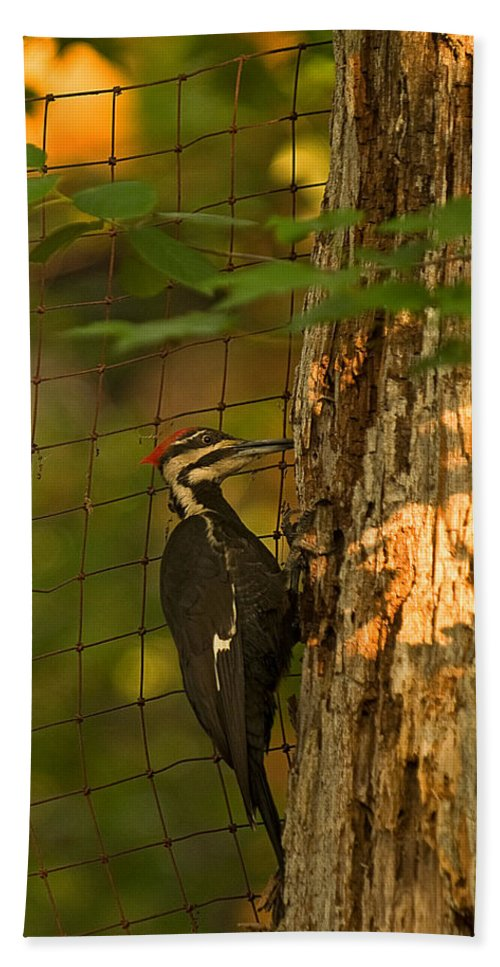 pileated Woodpecker Bath Sheet featuring the photograph Pileated Woodpecker by Paul Mangold