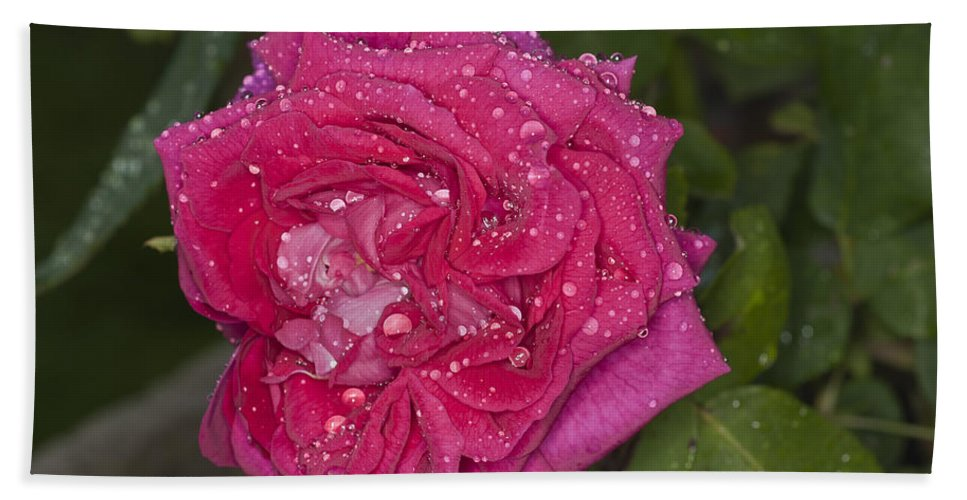 Pink Rose Bath Sheet featuring the photograph Pink Rose Wendy Cussons With Raindrops by Steve Purnell