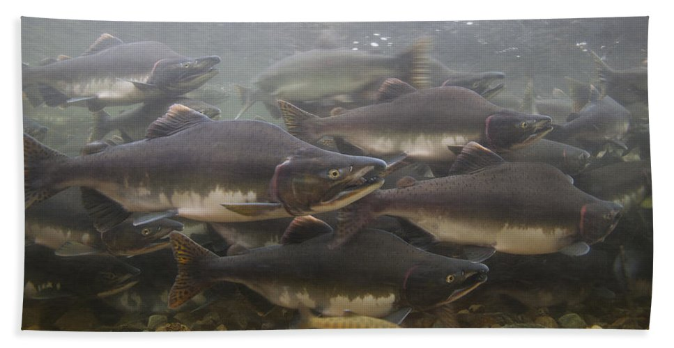 Mp Hand Towel featuring the photograph Pink Salmon Oncorhynchus Gorbuscha by Matthias Breiter