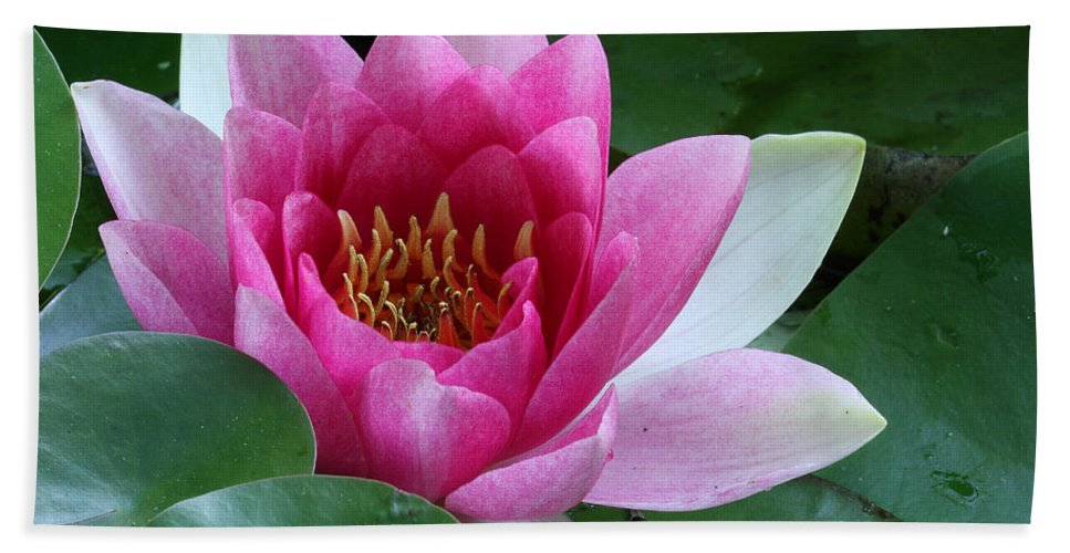 Nymphaea Bath Sheet featuring the photograph Pink Water Lily by Daniel Reed