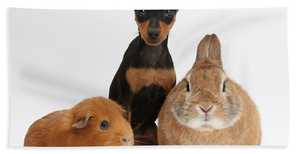 Nature Hand Towel featuring the photograph Pinscher Puppy With Rabbit And Guinea by Mark Taylor
