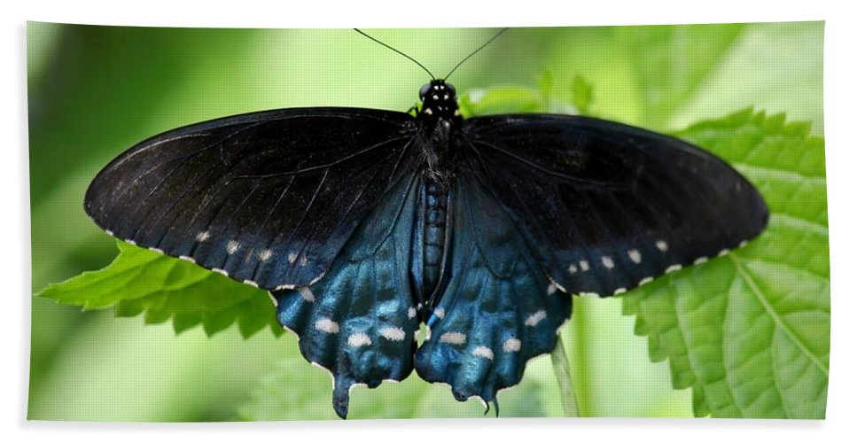Butterfly Bath Sheet featuring the photograph Pipevine Swallowtail by Carol Groenen