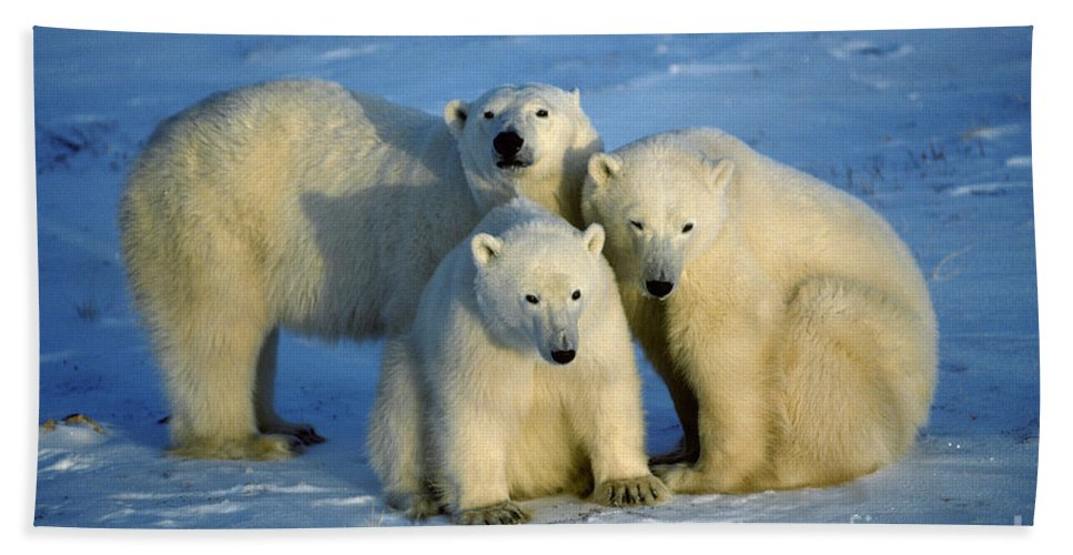 Animal Hand Towel featuring the photograph Polar Bear With Cubs by Francois Gohier and Photo Researchers