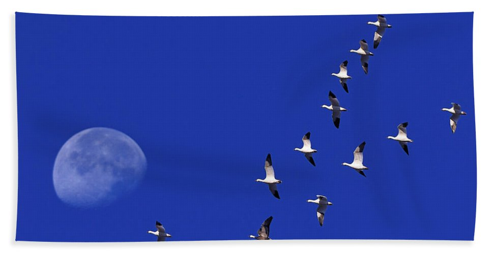 Snow Goose Hand Towel featuring the photograph Prairie Migration by Tony Beck