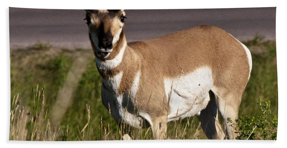 Pronghorn Hand Towel featuring the photograph Pronghorn Male Custer State Park Black Hills South Dakota -2 by Paul Cannon