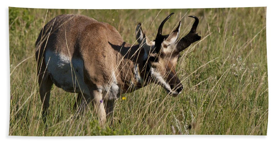 Pronghorn Hand Towel featuring the photograph Pronghorn Male Custer State Park Black Hills South Dakota -3 by Paul Cannon