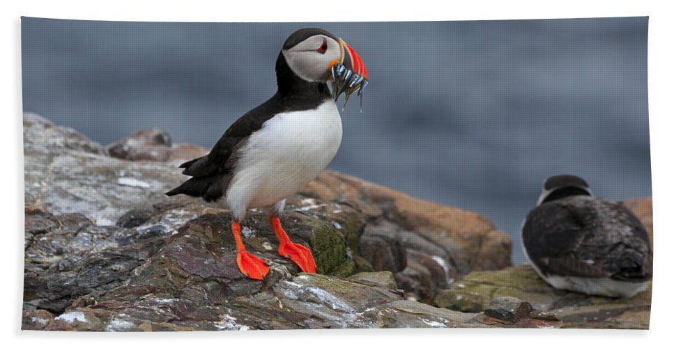 Atlantic Hand Towel featuring the photograph Puffin With Sand Eels by Louise Heusinkveld