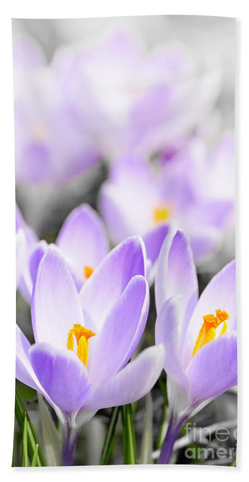 Crocus Bath Sheet featuring the photograph Purple Crocus Blossoms by Elena Elisseeva