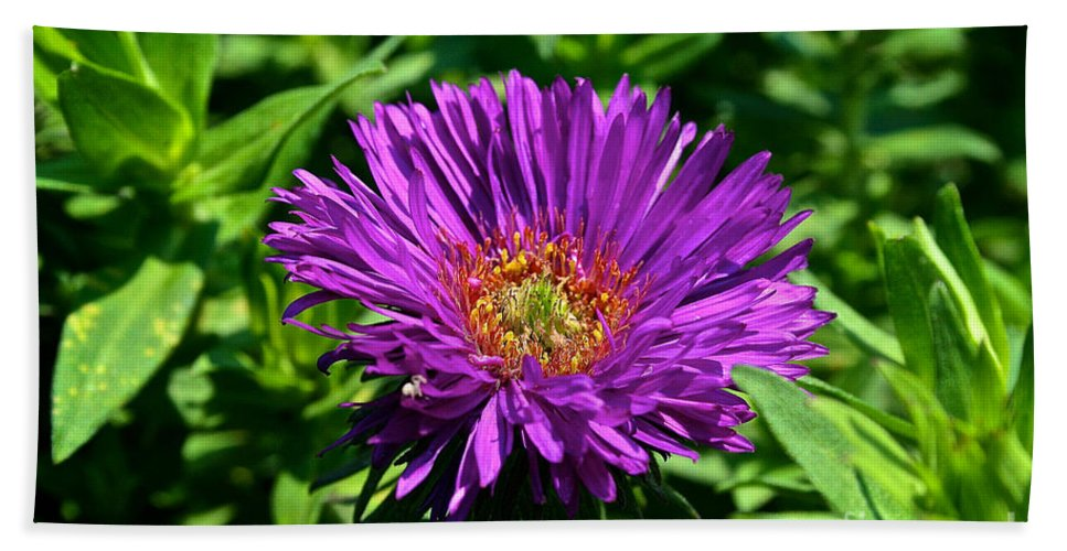 Outdoors Bath Sheet featuring the photograph Purple Dome New England Aster by Susan Herber