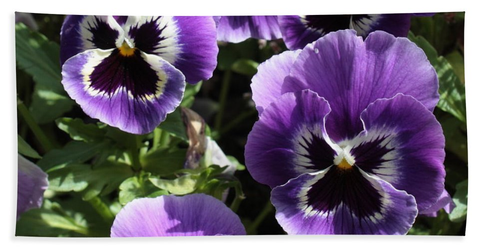 Pansy Bath Sheet featuring the photograph Purple Pansies Square by Carol Groenen