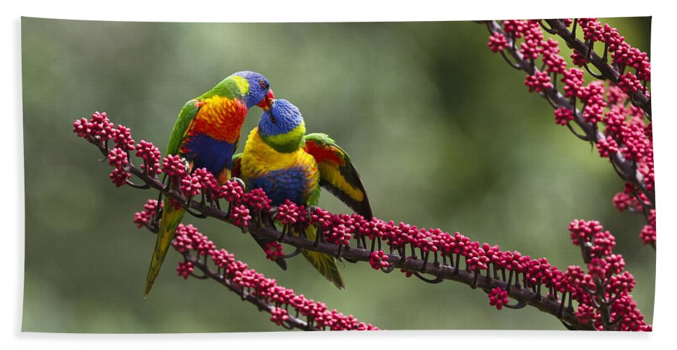 Mp Hand Towel featuring the photograph Rainbow Lorikeet Feeding Fledgling by Konrad Wothe