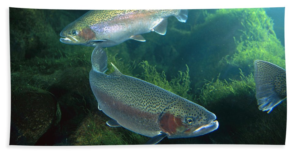 Mp Hand Towel featuring the photograph Rainbow Trout Oncorhynchus Mykiss Pair by Michael Durham