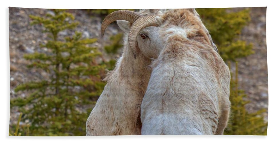 Bighorn Rams Hand Towel featuring the photograph Ram-bunctious by James Anderson