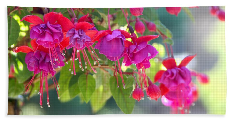 Fuchsias Bath Sheet featuring the photograph Red And Purple Fuchsias by Diana Haronis