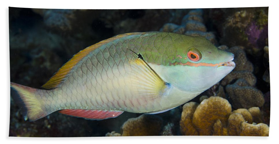 Mp Hand Towel featuring the photograph Red-banded Parrotfish Bonaire by Pete Oxford