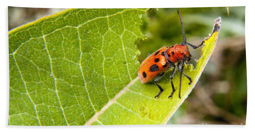Beetle Bath Sheet featuring the photograph Red Beetle Munching by Darleen Stry