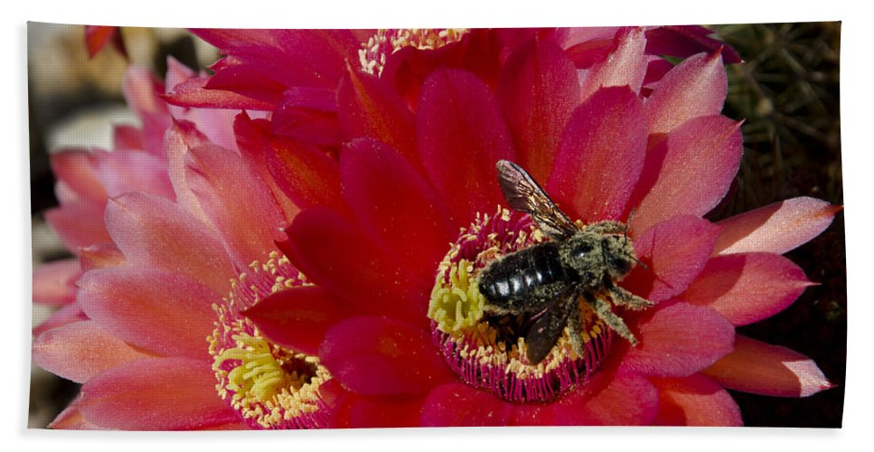 Cactus Hand Towel featuring the photograph Red Cactus Flower With Bumble Bee by Jim And Emily Bush