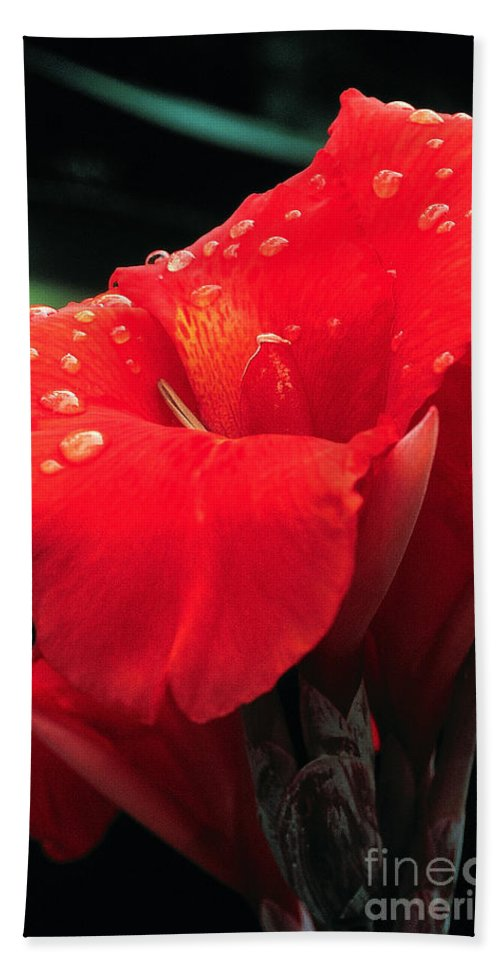 Canna Bath Sheet featuring the photograph Red Canna With Raindrops by Mike Nellums