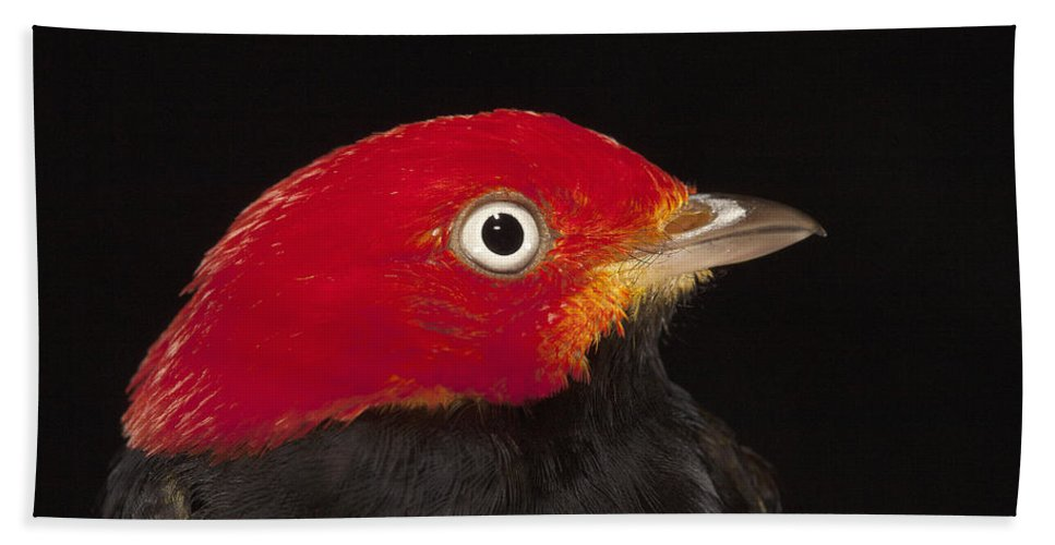 Mp Hand Towel featuring the photograph Red-capped Manakin Pipra Mentalis Male by Christian Ziegler