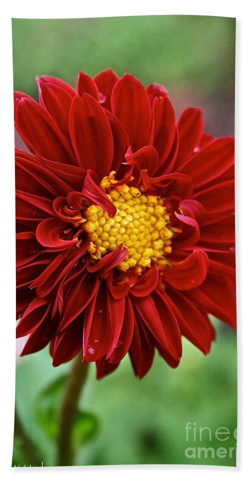 Floral Hand Towel featuring the photograph Red Dahlia Unfurled by Susan Herber