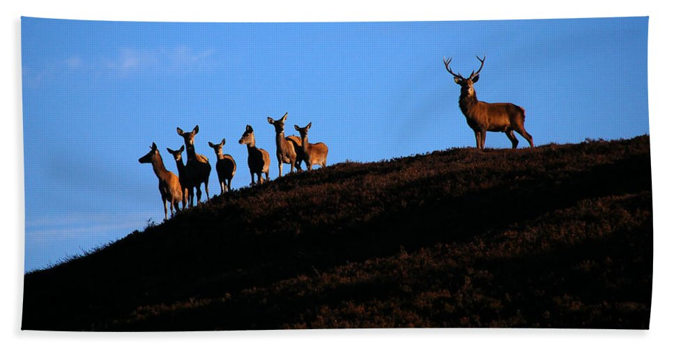 Red Deer Stag Hand Towel featuring the photograph Red Deer Group by Gavin Macrae
