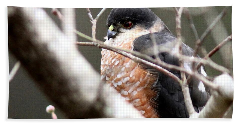 Sharp-shinned Hawk Bath Sheet featuring the photograph Red Eyes by Travis Truelove