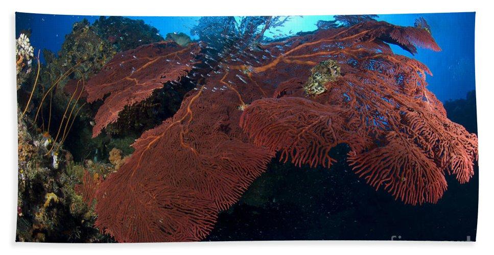 Anthozoa Bath Sheet featuring the photograph Red Fan Cora With Sunburst, Papua New by Steve Jones