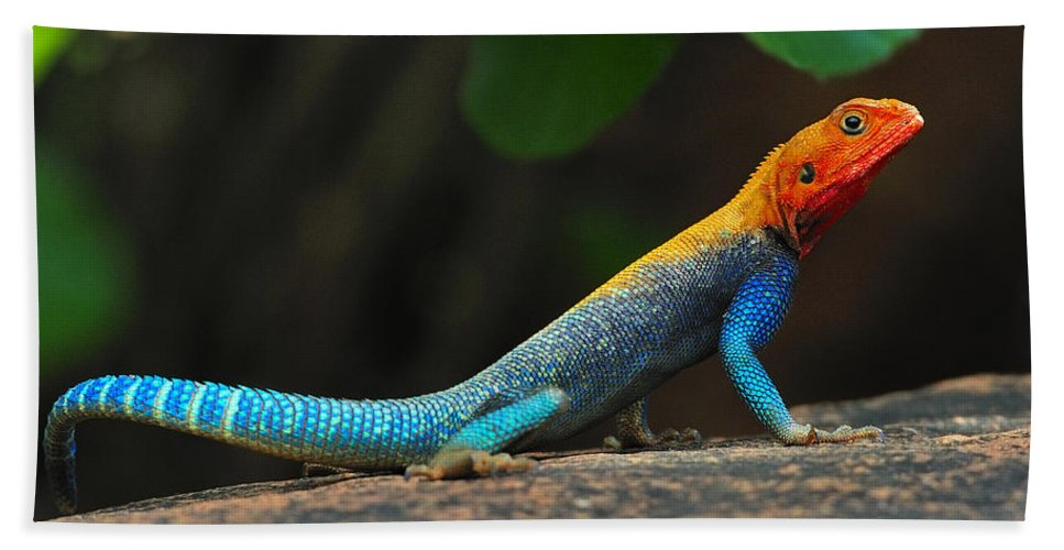 Common Agama Hand Towel featuring the photograph Red-headed Agama by Tony Beck