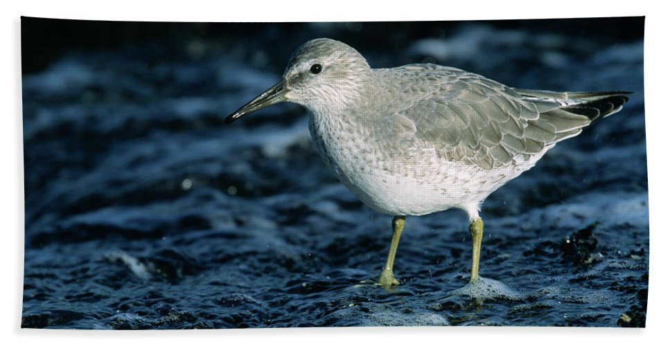 Fn Hand Towel featuring the photograph Red Knot Calidris Canutus In Winter by Hans Schouten