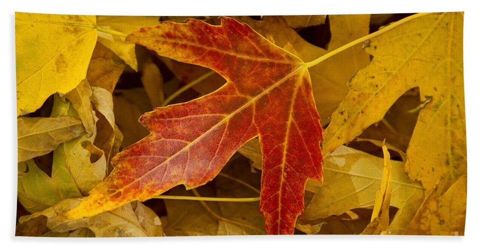 Maple Bath Sheet featuring the photograph Red Maple Leaf by James BO Insogna