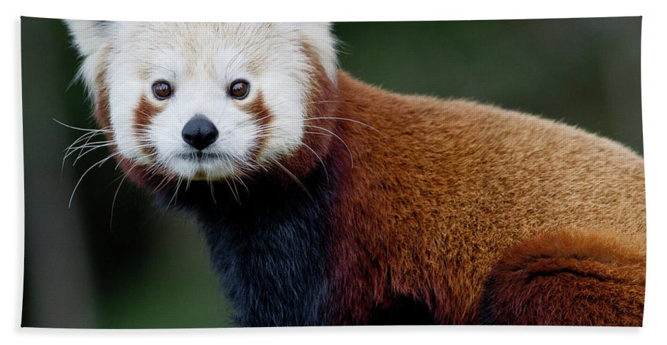 Red Panda Bath Sheet featuring the photograph Red Panda by Greg Nyquist