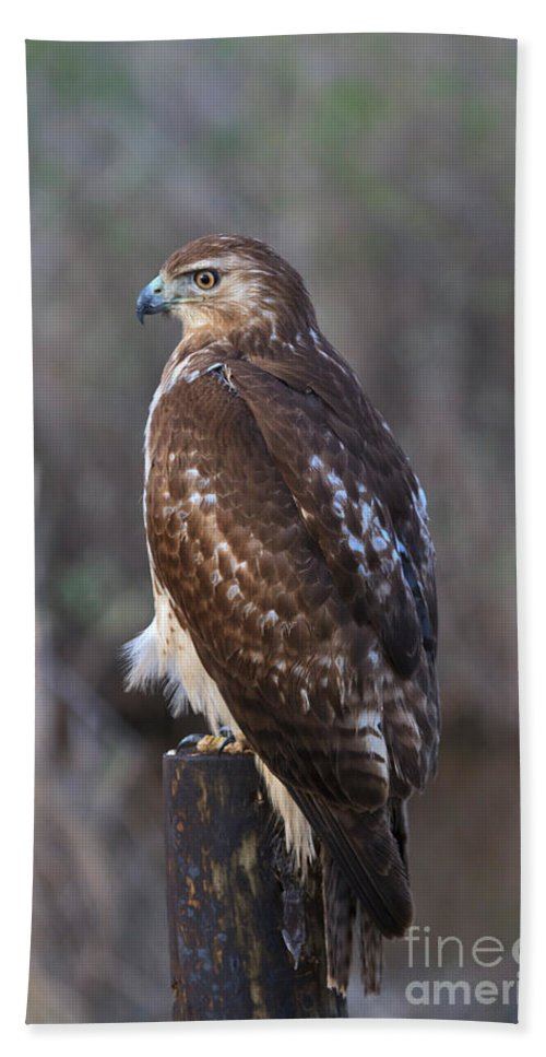 Red Tailed Bath Sheet featuring the photograph Red-tailed Hawk by Louise Heusinkveld