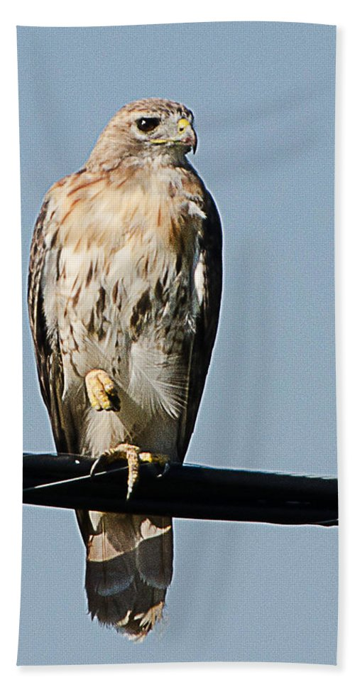 Hawk Hand Towel featuring the photograph Red-tailed Hawk by Shirley Tinkham
