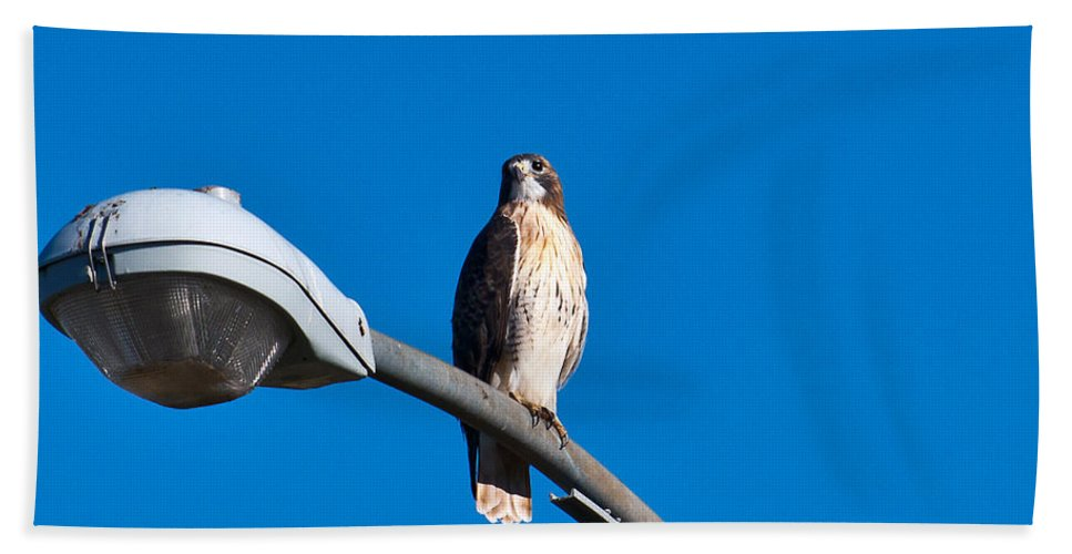 Wild Bird Bath Sheet featuring the photograph Red-tailed Hawk Surveying Territory by Edward Peterson