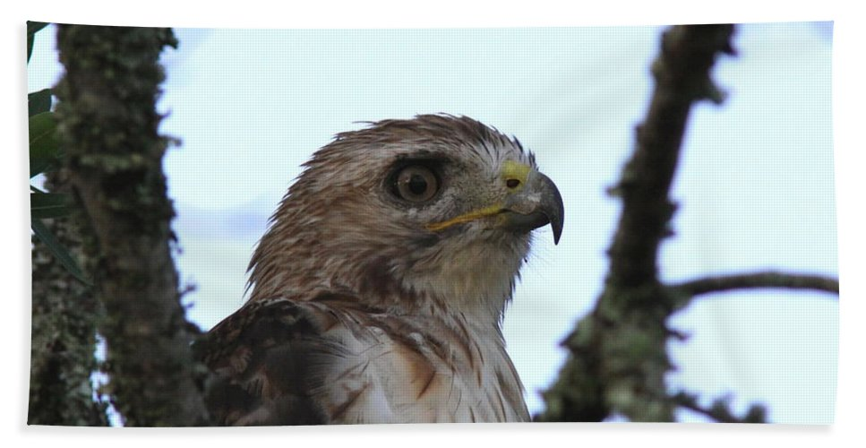 Red-tailed Hawk Bath Sheet featuring the photograph Red-tailed Hawk - Young And The Old by Travis Truelove