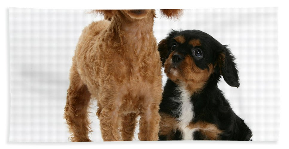Nature Hand Towel featuring the photograph Red Toy Poodle And Cavalier King by Mark Taylor