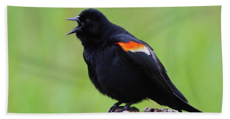 Blackbird Bath Sheet featuring the photograph Red-winged Blackbird by Bruce J Robinson