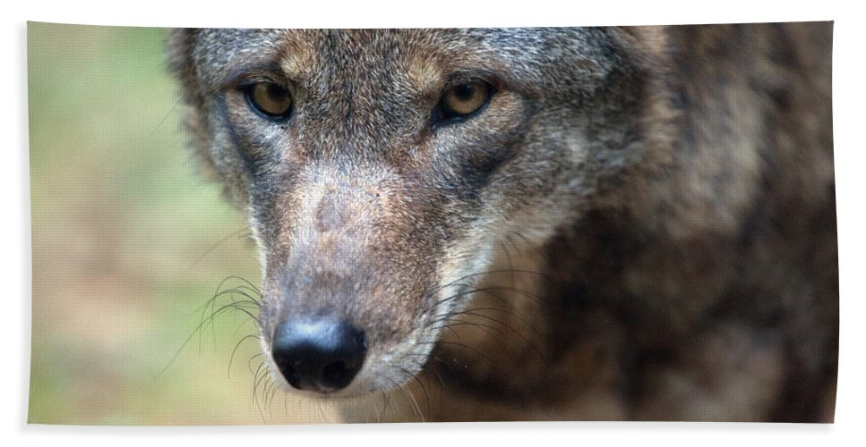 Wolf Bath Sheet featuring the photograph Red Wolf Closeup by Karol Livote