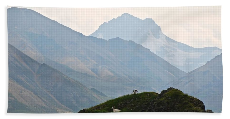 Danali National Park Bath Sheet featuring the photograph Resting Dall Sheep by Eric Tressler