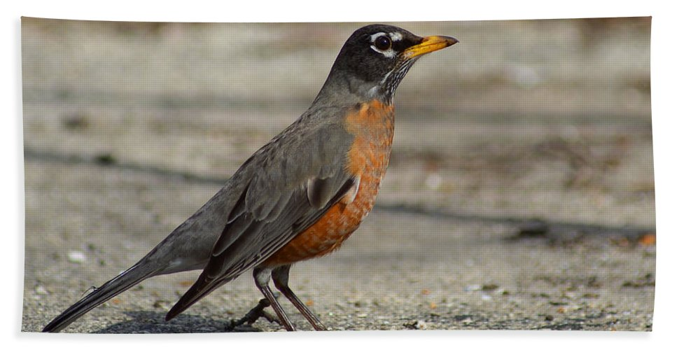 Animals Bath Sheet featuring the photograph Robin by Lisa Phillips