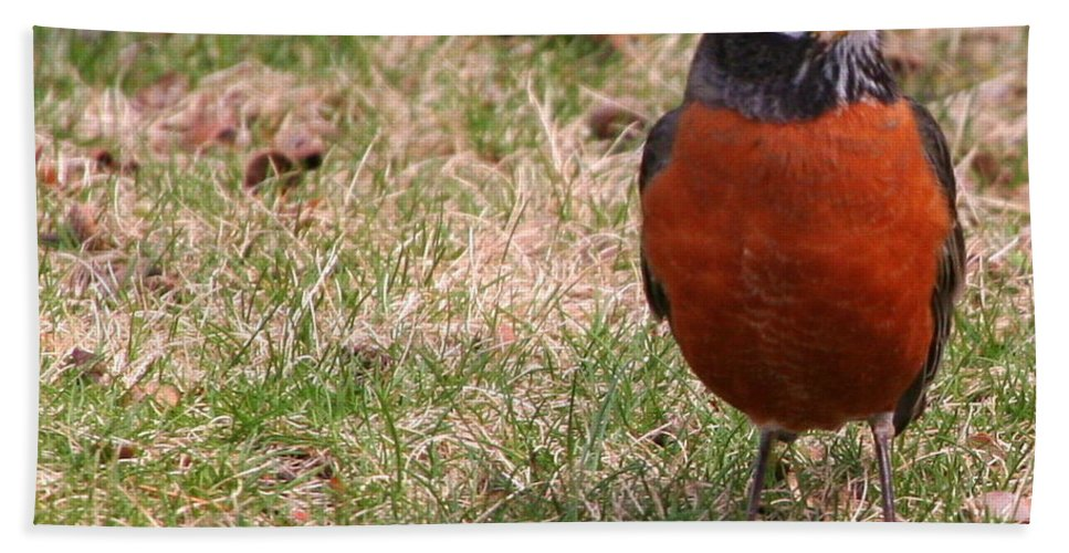 American Robin Bath Sheet featuring the photograph Robin Redbreast by Laurel Talabere