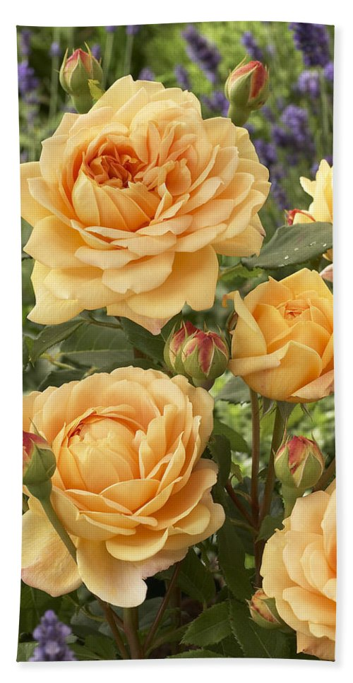 Vp Bath Towel featuring the photograph Rose Rosa Sp Golden Celebration Variety by VisionsPictures
