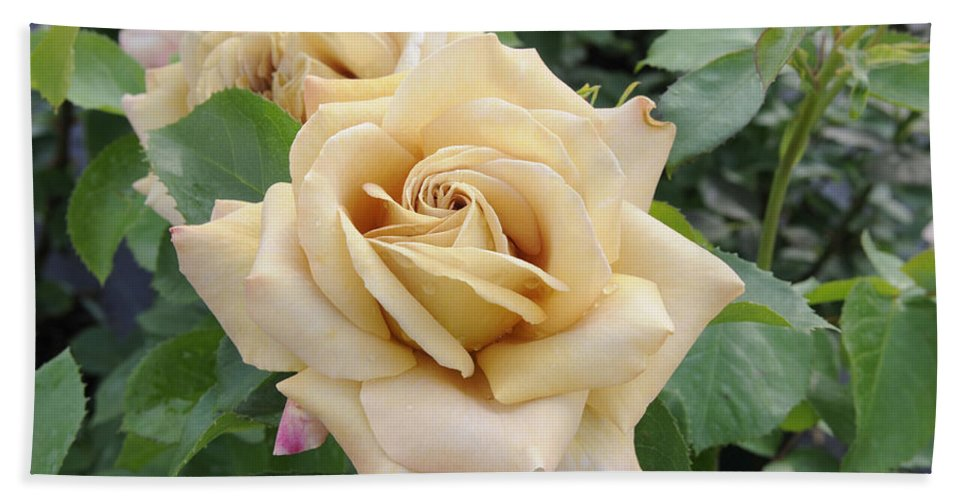 Vp Hand Towel featuring the photograph Rose Rosa Sp Honey Dijon Variety Flowers by VisionsPictures